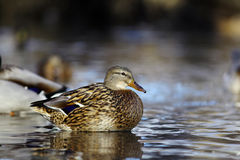 Mallard duck on the river blur. Mallard duck on the river Royalty Free Stock Photo