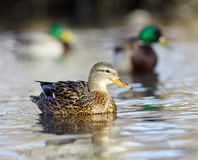 Mallard duck on the river blur. Mallard duck on the river Royalty Free Stock Image