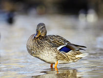 Mallard duck on the river blur. Mallard duck on the river Royalty Free Stock Photography