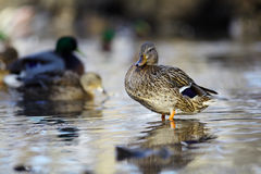 Mallard duck on the river blur. Mallard duck on the river Royalty Free Stock Images