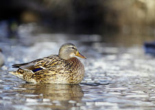 Mallard duck on the river blur. Mallard duck on the river Stock Images