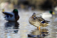 Mallard duck on the river blur Stock Photography