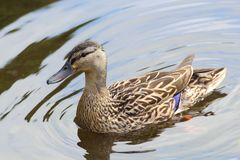 Mallard duck on a river. Female mallard duck swimming on a river during spring Stock Photography