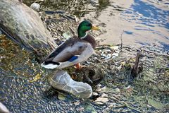 Mallard duck in river garbage. Male mallard duck with discarded shoe in river debris Royalty Free Stock Images