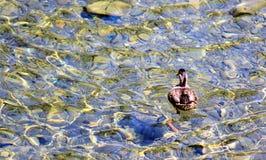 Mallard Duck on River. A lone mallard duck swimming in a clear river Stock Photos