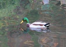 Mallard duck on a river. Male mallard duck swimming on a river Stock Image