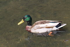 Mallard duck on a river. Male mallard duck swimming on a river Royalty Free Stock Photography