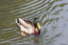 Mallard duck on a river. Male mallard duck swimming on a river in Brittany Royalty Free Stock Image
