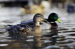 Mallard duck on the river. Pair Royalty Free Stock Photo