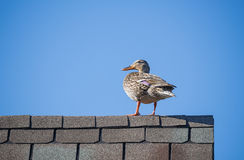 Mallard duck on the roof top. Female Mallard duck (Anas platyrhynchos) on the roof top. Blue sky background with copy space Stock Image