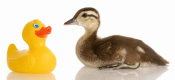 Mallard duck and rubber duck Stock Photos