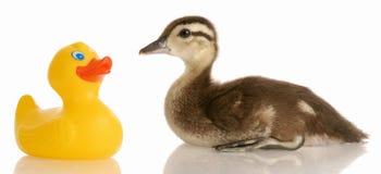 Mallard duck and rubber duck. Baby mallard duck sitting beside a toy rubber duck Stock Photos