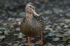 Mallard duck, San Antonio Botanical Garden Stock Photo