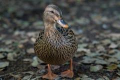 Mallard duck, San Antonio Botanical Garden. Mallard duck wandering around the pond in the San Antonio Botanical Garden Stock Photo