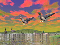 Mallard duck scenery - 3D render Stock Photos