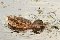 Mallard duck searching for food Stock Image