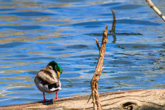 Mallard duck seeimingly asleep Stock Photos
