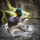 Mallard Duck Shaking off Water. Mallard duck shaking itself in a pond Stock Photo