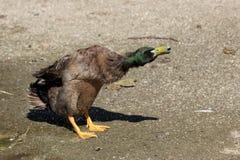 Mallard Duck Shaking Water Royalty Free Stock Photos