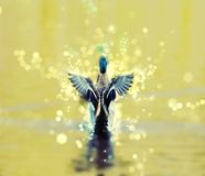 Mallard duck with shimmering background, beauty filter. Mallard duck - Anas platyrhynchos - fly out of yellow water. Bird scene. Shimmering background. Beauty Stock Photography