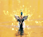 Mallard duck with shimmering background, photo filter. Mallard duck - Anas platyrhynchos - fly out of yellow water. Bird scene. Shimmering background. Photo Royalty Free Stock Image