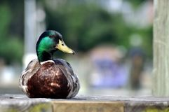 A Mallard Duck sitting on a Wooden Pier. A Mallard Duck with a shiny green head and looking sideways at you while he is sitting on a wooden dock. He looks as if Royalty Free Stock Photo