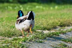 Mallard duck shitting on green grass on the riverbank. Mallard duck shitting on grass on the riverbank Royalty Free Stock Photography