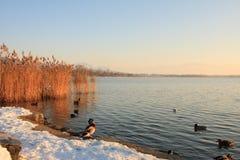 Mallard duck on shore Stock Photo