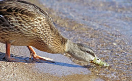 Mallard duck on shoreline of beach bending and taking a drink Royalty Free Stock Photography
