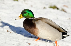 Mallard Duck Showing Off its Snow Covered Bill. Male Mallard Duck Showing Off its Snow Covered Bill Royalty Free Stock Photos
