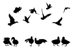 Mallard duck silhouettes Stock Photo