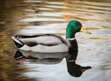 Mallard Duck. Single Mallard Duck on the pond with reflection Royalty Free Stock Photo