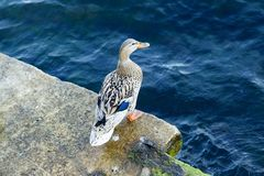 Mallard duck. Siting near water at Bosphorus Stock Photography