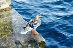 Mallard duck siting near water at Bosphorus. Bay Royalty Free Stock Image