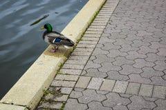 Mallard Duck Sitting on Brick Sidewalk. A mallard duck sitting on a Brick sidewalk looking out over the Fox River Stock Photos