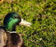 Mallard duck on the grass stock image
