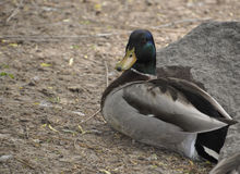 Mallard duck sitting on the ground. Under a stone Stock Photography