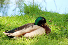 Mallard duck. Sitting  near a lake, selective focus Royalty Free Stock Images