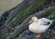 Mallard duck sitting next to a river. In winter Stock Photos