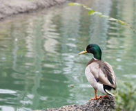 Mallard Duck Stock Photo