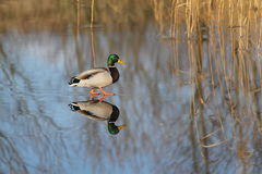 Mallard Duck. Skating on thin ice Stock Photo