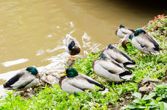 Mallard duck. Sleeping near a river Royalty Free Stock Image