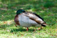 Mallard duck sleeping Royalty Free Stock Photography