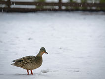 Mallard Duck on Snow. This is a Mallard Duck standing on Snow Royalty Free Stock Photos