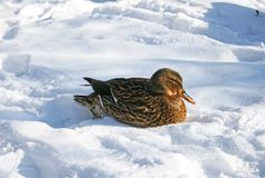 Mallard duck on the snow. Female mallard duck resting in the snow on the bank of a river in Vilnius, Lithuania Royalty Free Stock Photography