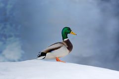 Mallard Duck on Snow. A male mallard in profile standing on snow in winter Stock Photos