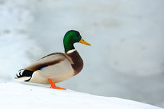 Mallard Duck on Snow Slope. A male mallard duck on a snow slope in winter Royalty Free Stock Photo