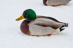 Mallard duck in the snow. On a winter day Royalty Free Stock Image