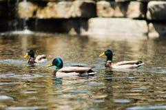 Mallard duck. Royalty Free Stock Photos