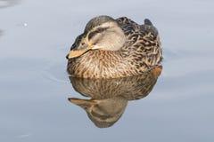 A mallard duck on Southampton Common stock images